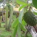 Guanabana (soursop) Smoothie