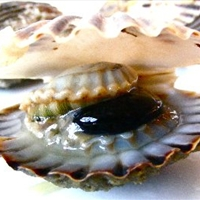 Steamed Taylor Bay Scallops in a Spicy Caper Zupetta