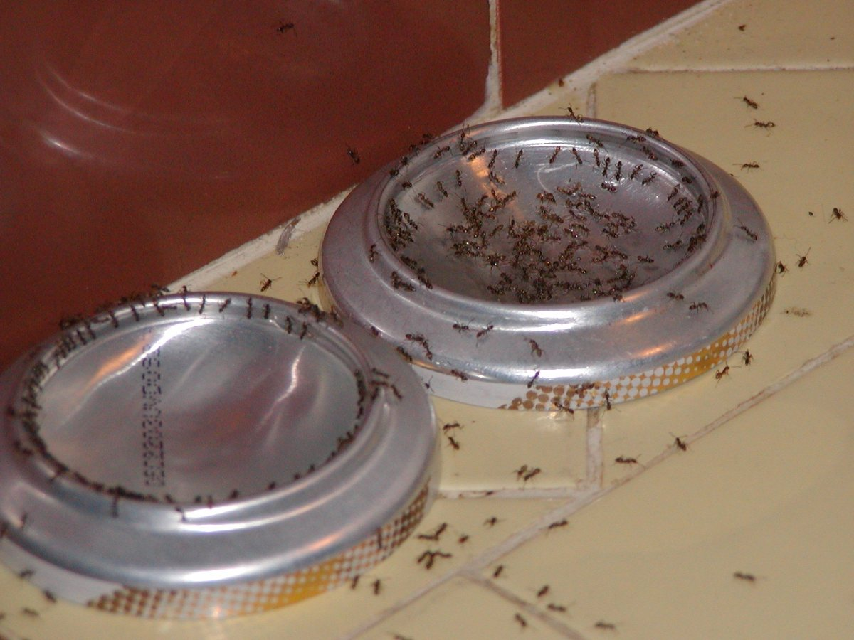 Natural Way To Get Rid Of Argentine Ants